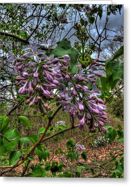Green Grow The Lilacs Greeting Card by William Fields