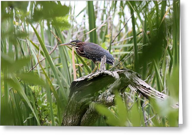 Green Heron Greeting Card by Suzie Banks