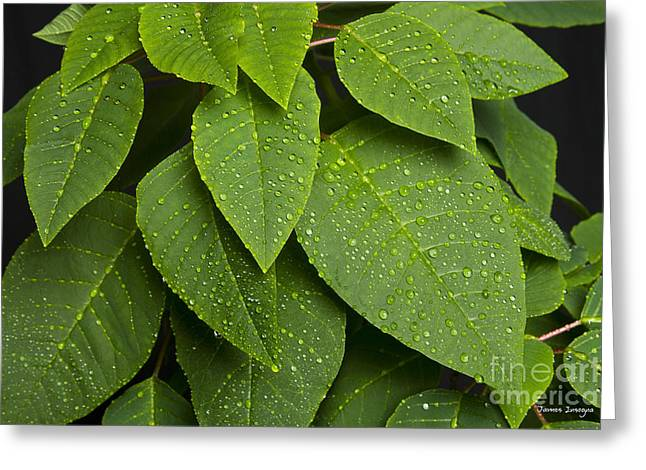 Green Leaves And Water Drops Greeting Card by James BO  Insogna