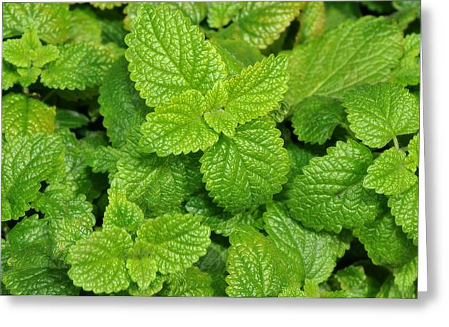 Green Mint Greeting Card by Diane Lent