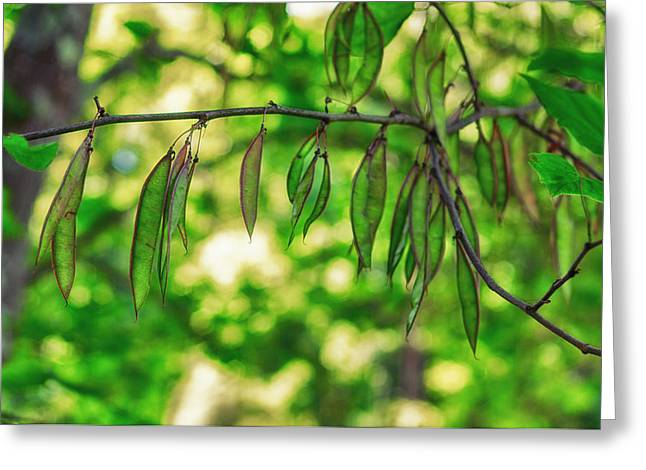 Green Redbud Seed Pods Greeting Card