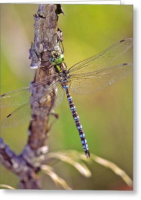 Green-striped Darner Dragonfly Greeting Card