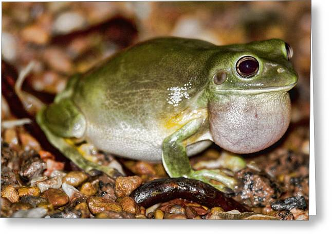 Green Tree Frog Greeting Card by Douglas Barnard