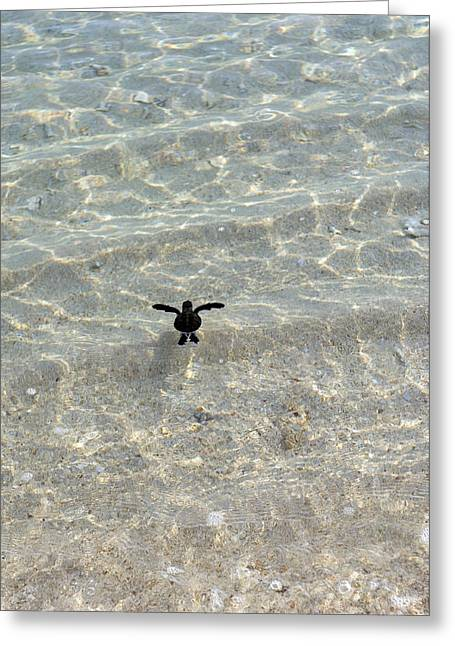 Green Turtle Hatchling Greeting Card by Matthew Oldfield