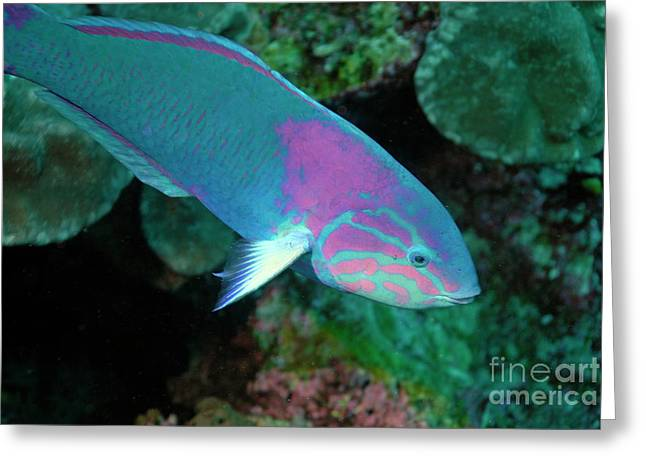 Green Wrasse On Coral Reef Greeting Card by Sami Sarkis