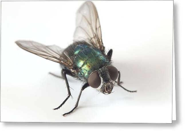 Greenbottle Fly Greeting Card by Dr Jeremy Burgess