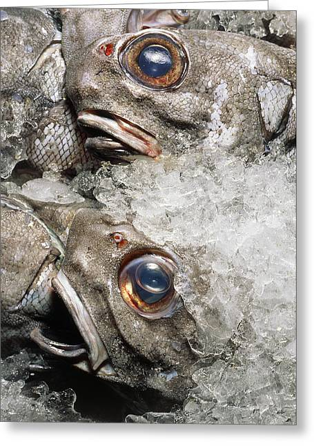 Grenadier Fish Packed In Ice After Being Caught Greeting Card by Sinclair Stammers