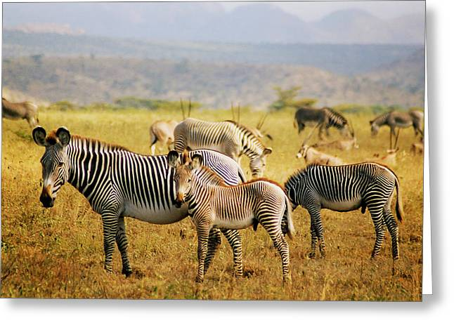 Grevy's Zebras Greeting Card by Belinda Greb