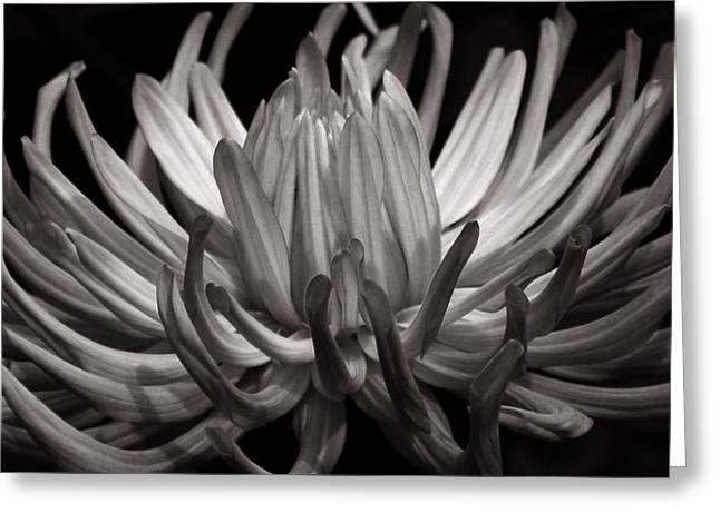 Grey Dahlia Greeting Card