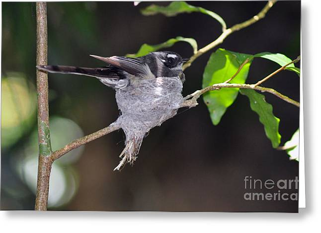 Grey Fantail Nesting Greeting Card by Joanne Kocwin