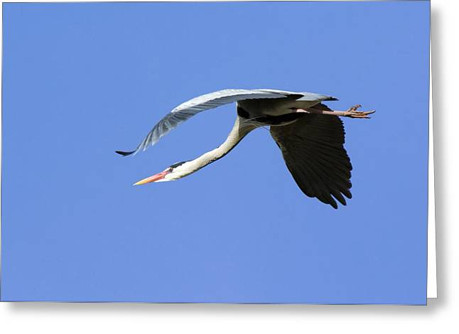 Grey Heron Flying Greeting Card by Duncan Shaw