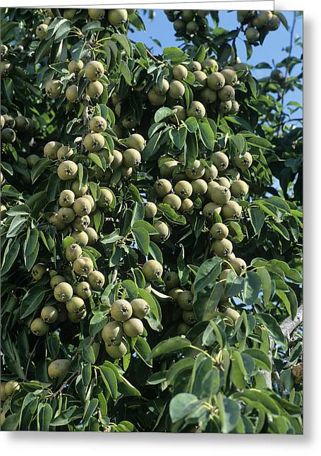 Pear tree greeting cards page 5 of 40 fine art america grey pears greeting card m4hsunfo