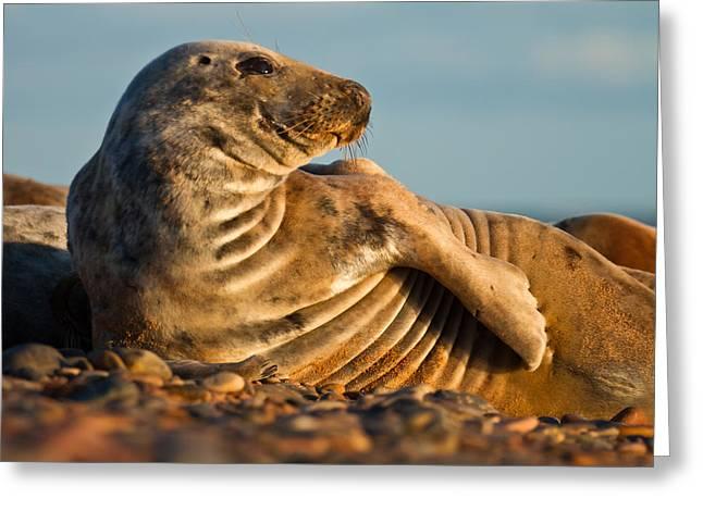 Grey Seal Halichoerus Grypus Watching Greeting Card