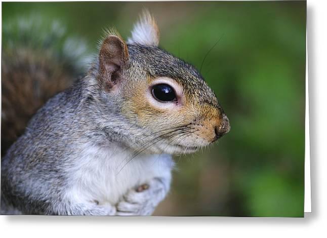 Grey Squirrel Greeting Card by Colin Varndell