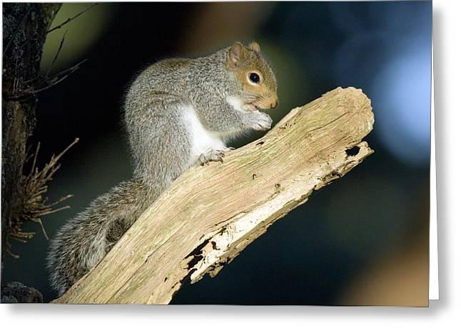 Grey Squirrel Feeding Greeting Card