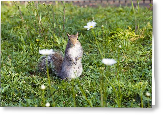 Grey Squirrel Greeting Card by Georgette Douwma