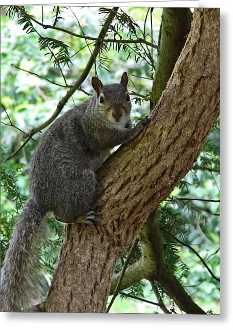 Grey Squirrel Greeting Card by Sharon Lisa Clarke