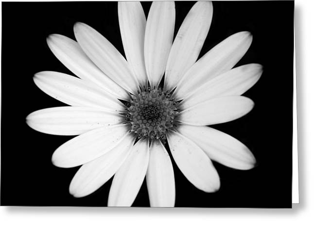 Greyscale Osteospermum Greeting Card by Victoria Wise