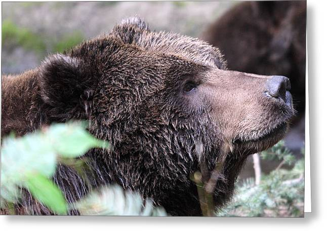 Grizzley - 0010 Greeting Card by S and S Photo