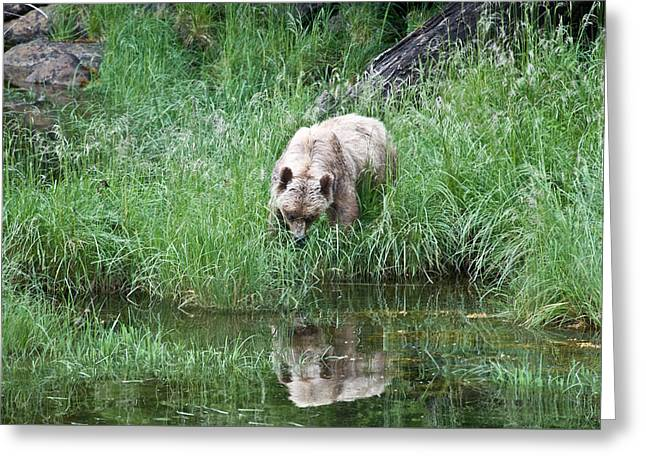 Grizzly Bear And Reflection On Prince Rupert Island Canada 2209 Greeting Card