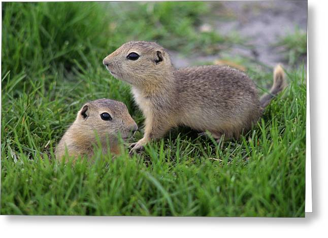 Ground Squirrels, Oak Hammock Marsh Greeting Card by Mike Grandmailson