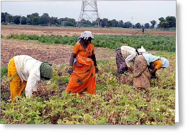 Groundnut Picking By Women Greeting Card by Johnson Moya