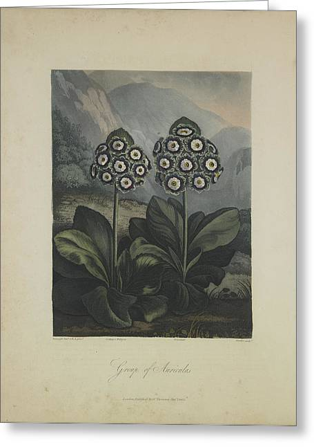 Group Of Auricula Greeting Card by Robert John Thornton