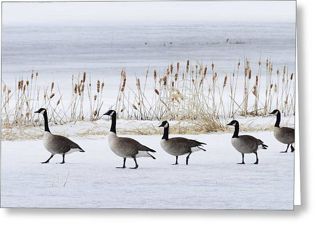 Group Of Canada Geese Walking Greeting Card by Philippe Henry