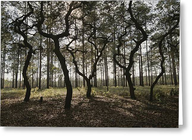 Grove Of Trees In The Ocala National Greeting Card by Raymond Gehman