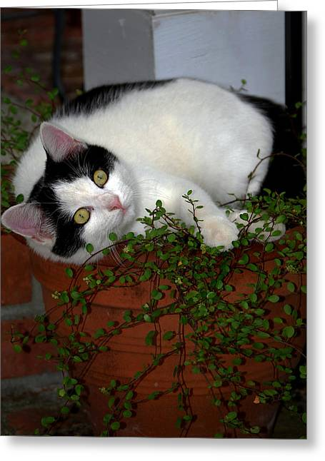 Growing A Kitten Greeting Card by Skip Willits