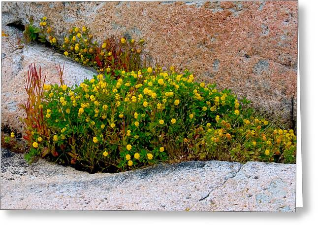 Greeting Card featuring the photograph Growing In The Cracks by Brent L Ander