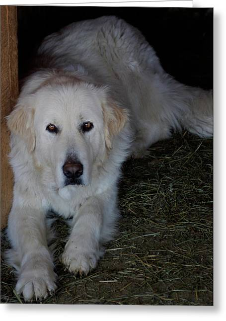 Guarding The Barn Greeting Card