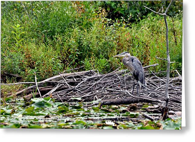 Guarding The Nest Greeting Card by Larry Hutson Jr
