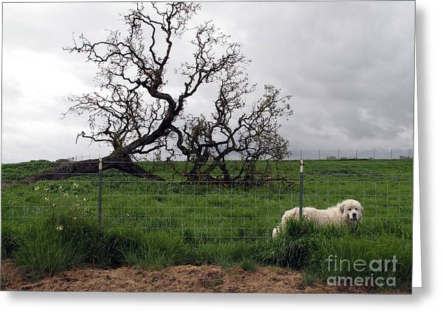 Greeting Card featuring the photograph Guarding The Sheep by Leslie Hunziker