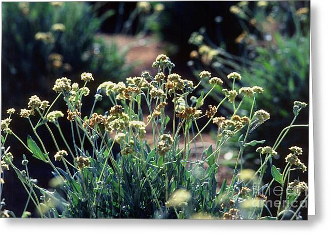 Guayule Plants Greeting Card by Science Source