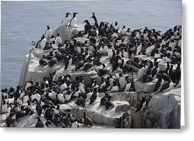 Guillemot Gathered On A Rock Greeting Card by John Short
