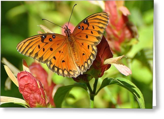 Gulf Fritillary Butterfly On Flower Greeting Card by Jodi Terracina