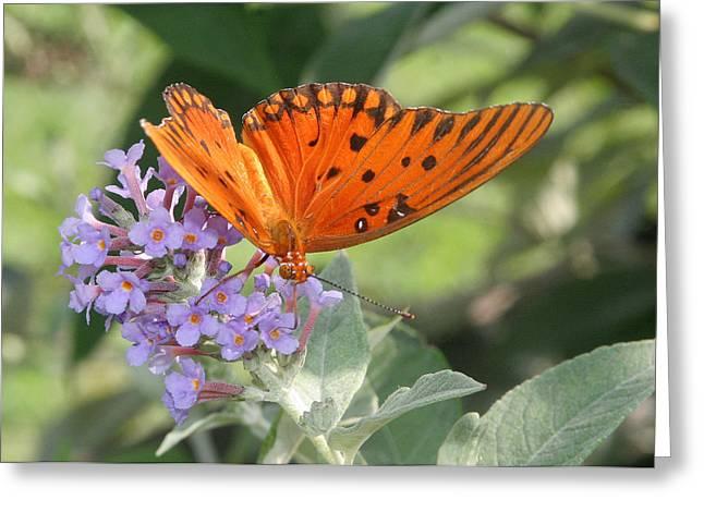 Greeting Card featuring the photograph Gulf Fritillary On Butterfy Bush by Paula Tohline Calhoun