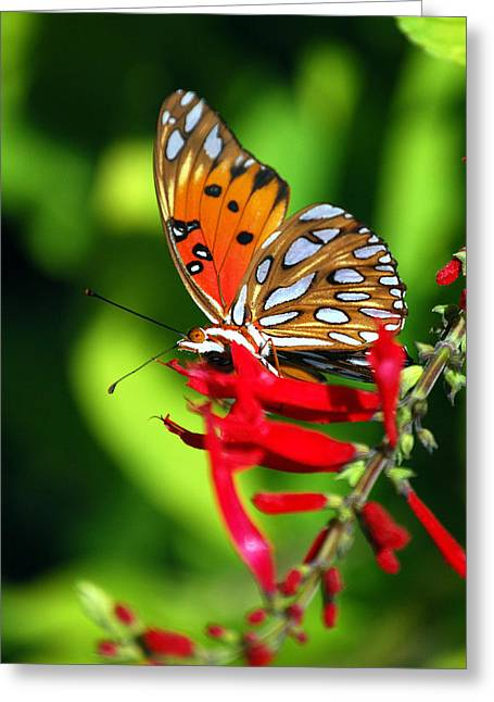 Gulf Fritillary Greeting Card by Skip Willits