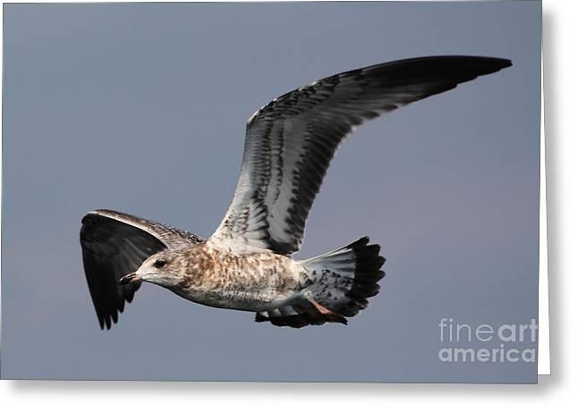 Gull In Flight Greeting Card