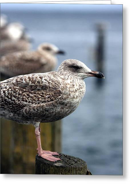 Gulls Greeting Card by Falko Follert