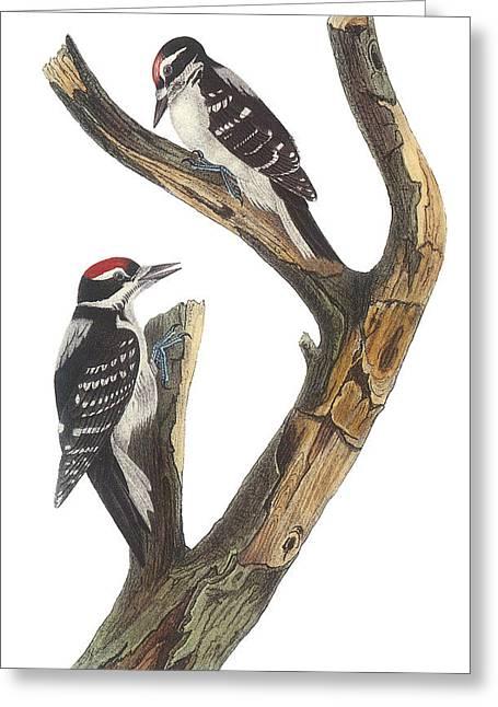 Hairy Woodpecker Greeting Card by John James Audubon