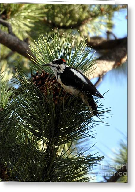 Hairy Woodpecker On Pine Cone Greeting Card