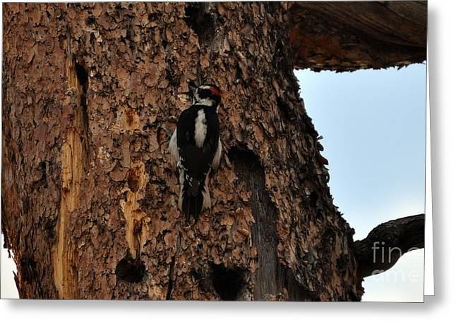 Hairy Woodpecker On Pine Tree Greeting Card