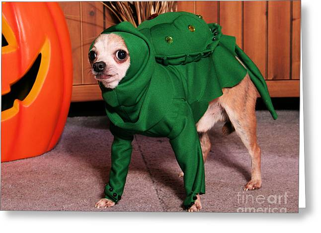 Halloween Dog Portraits - Chihuahua Greeting Card by Renae Laughner