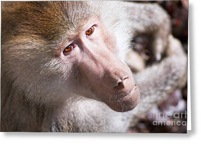 Hamadryas Baboon Greeting Card by Andrew  Michael