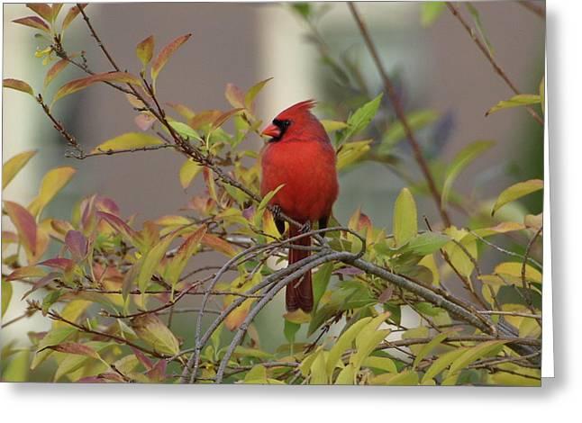 Handsome Cardinal Greeting Card