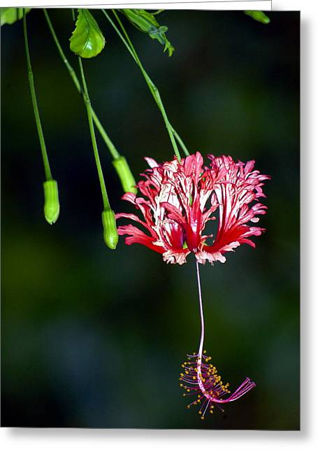 Hanging Coral Hibiscus Greeting Card