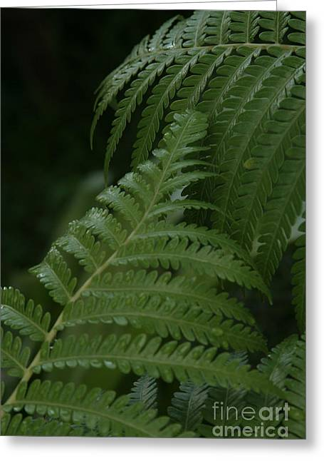 Hapuu Pulu Hawaiian Tree Fern - Cibotium Splendens Greeting Card by Sharon Mau