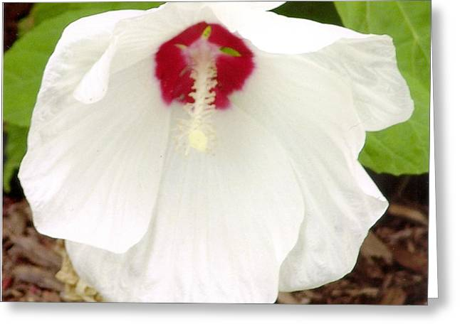Hardy White Hybiscus Greeting Card